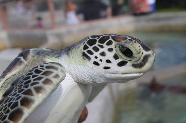 zelená mořská želva